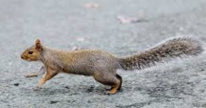 squirrel running